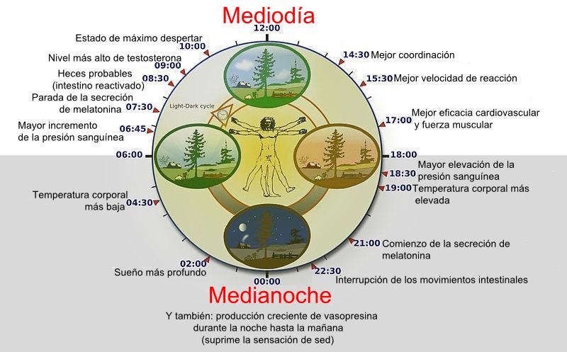 el ciclo circadiano dependiendo de la hora del dia