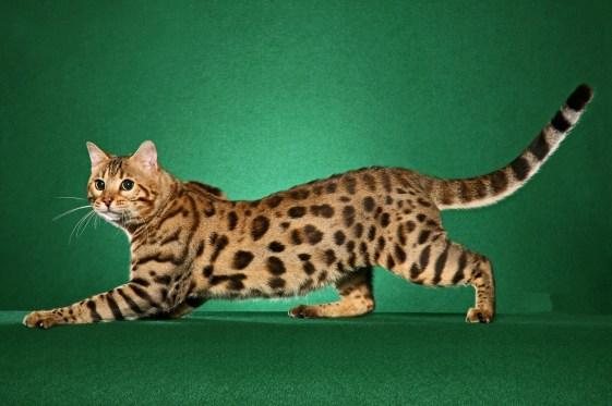 gato bengala