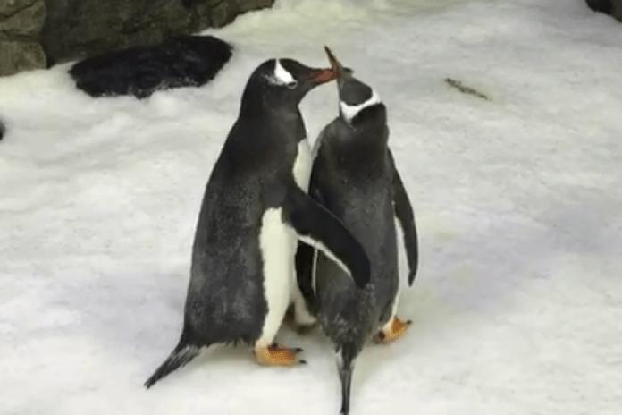 pinguinos gay en australia