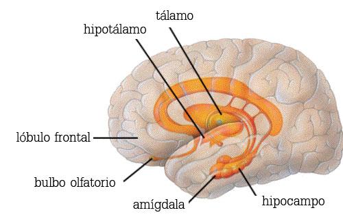 esquema cerebro humano