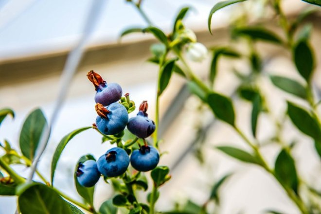 Elite Agro has 20 greenhouses dedicated to blueberry production