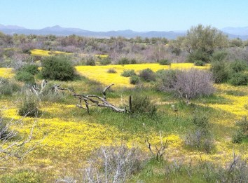 Mcdowell mountain park in bloom