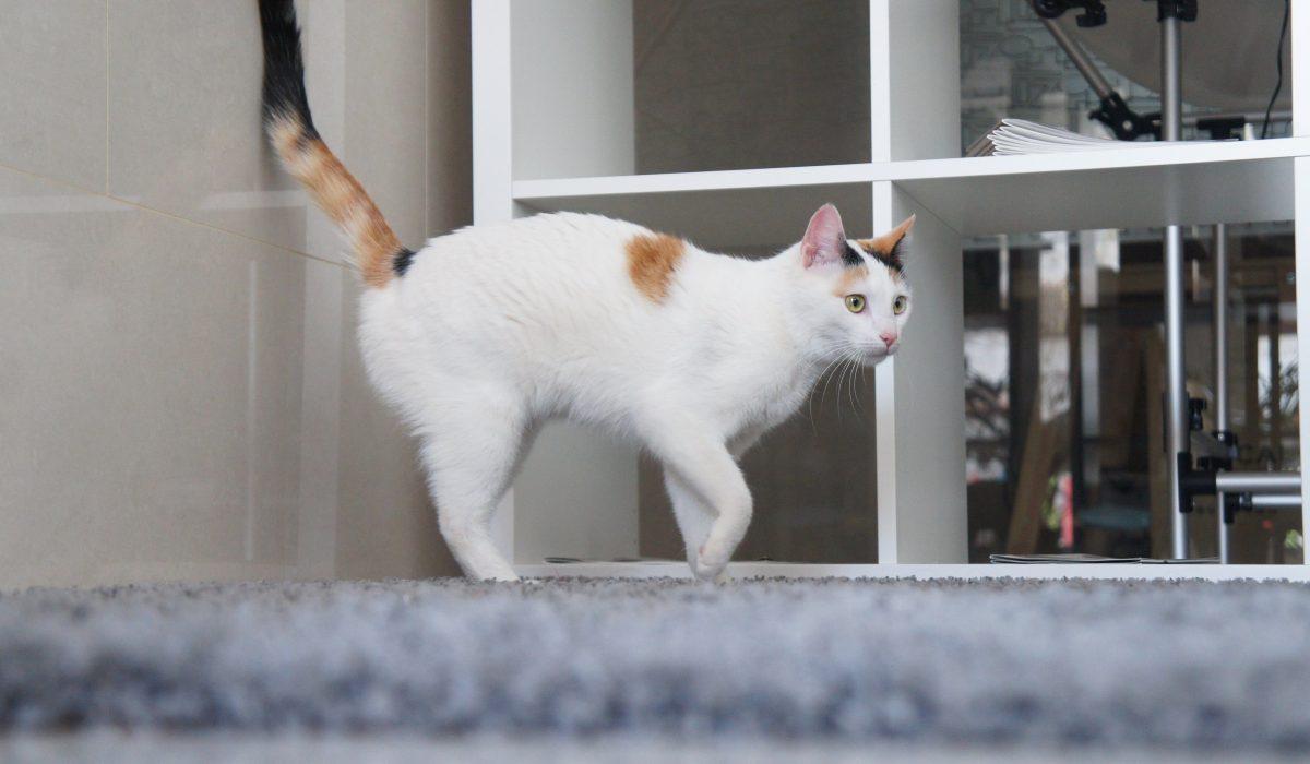Magie gata blanca adulta en adopción PRODA Vinaros