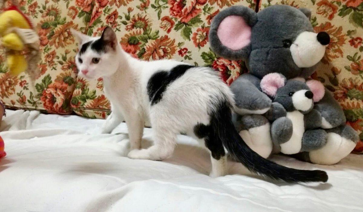 Teo gato cachorro en adopción