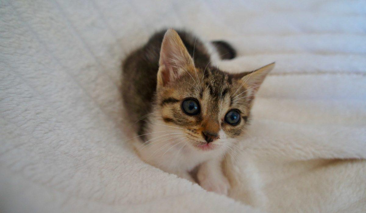 Selva gata cachorro en adopción