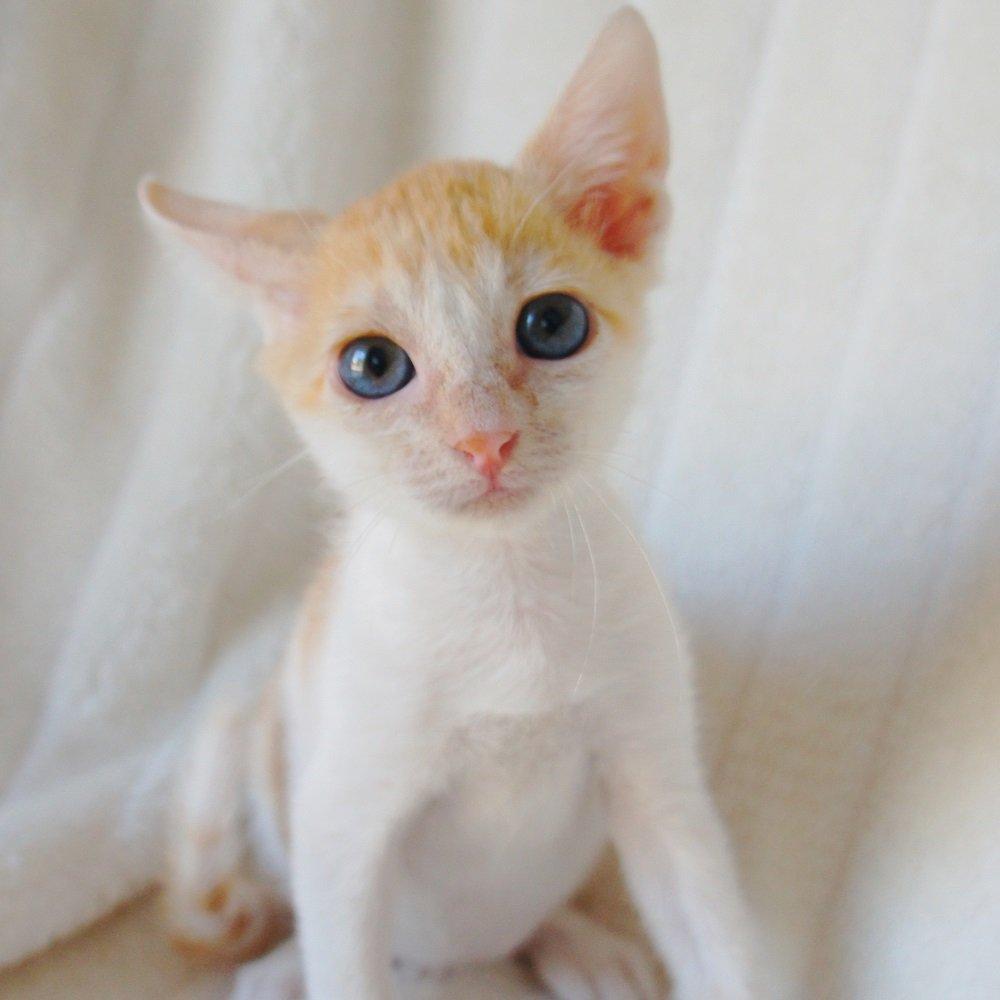 Quique gato cachorro en adopción PRODA Vinaros