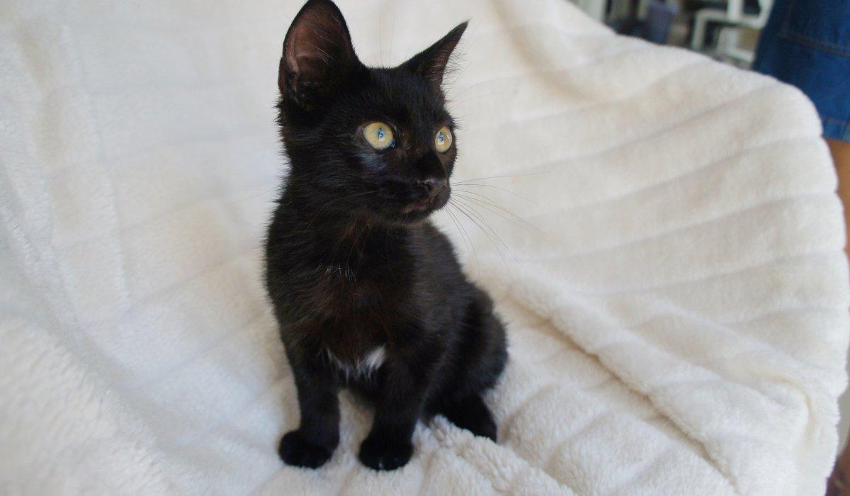 Gato negro en adopción PRODA VInaròs