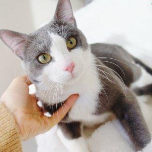 Lenon Gato blanco y gris en adopción PRODA Vinaròs