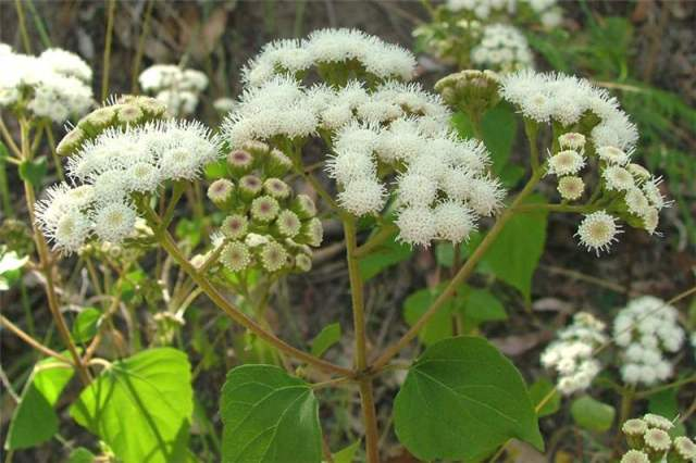 Abundancia - Ageratina adenophora