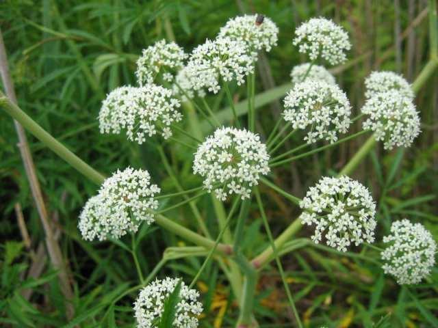Cicuta - Cicuta maculata