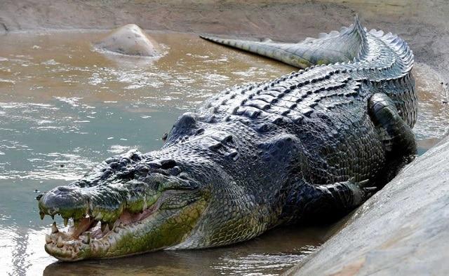 Crocodilo de água salgada - Os animais mais perigosos do mundo