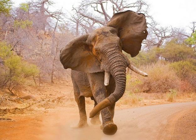 Elefante - Os animais mais perigosos do mundo
