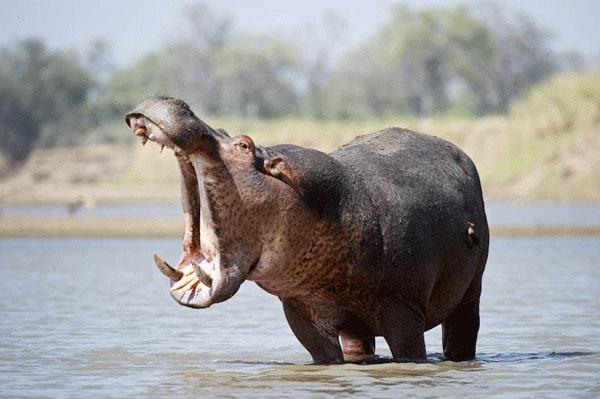 Hipopotamo - Os animais mais perigosos do mundo
