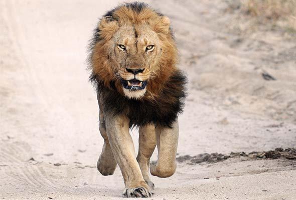 Leão Africano - Os animais mais perigosos do mundo