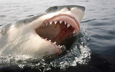 Tubarão Branco - Os animais mais perigosos do mundo