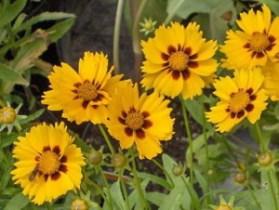 кореопсис крупноцветковый