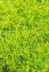 мшанка сорта