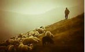 Sheep Flock 1