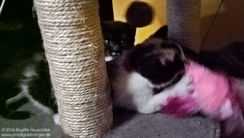 My cellphone camera is not very good, and definitely not up for kittens in action. Still, you can probably tell that that the evil pink murderbird is getting what it deserves!