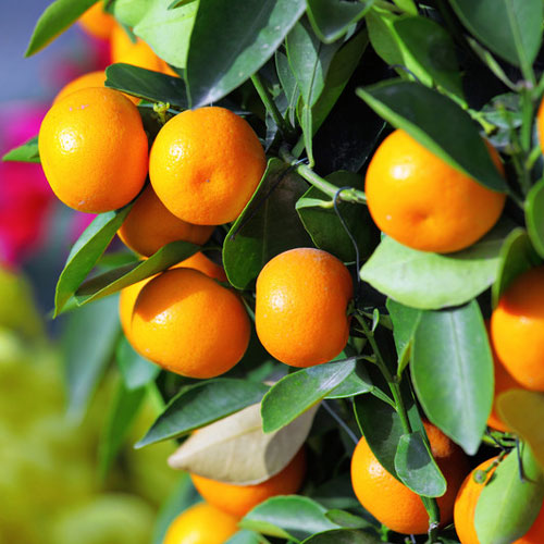 Kumquat Fragrance Oil