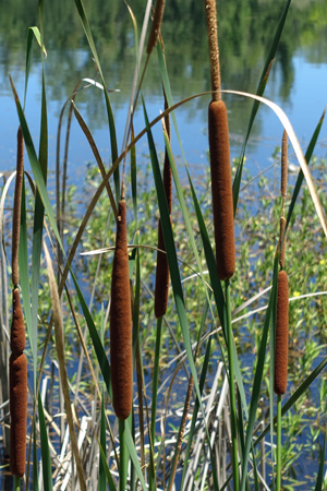 Cattails in Anderson River Park in Northern California