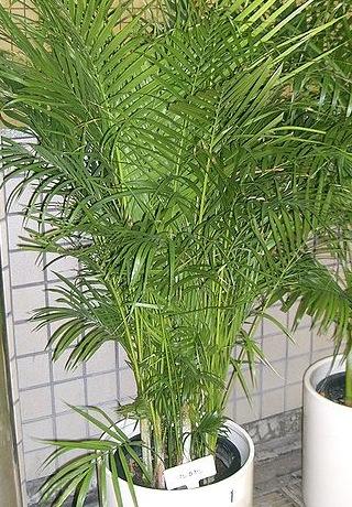 Produktywność z natury: Palma Areca