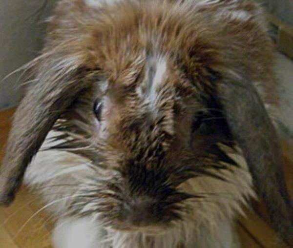 Цистит у кроликов