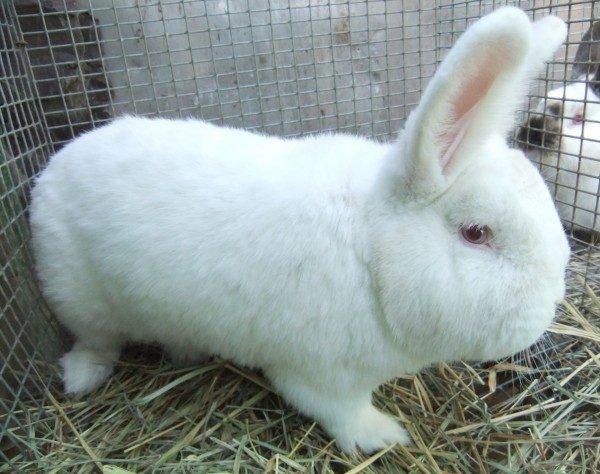 iepurii pierde în greutate atunci când se mută