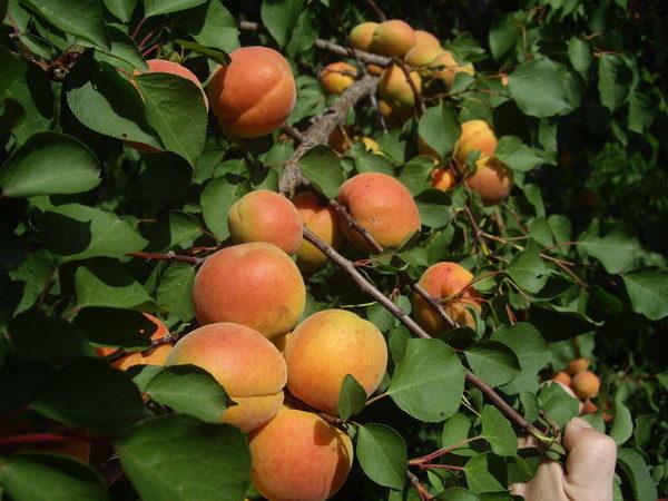 Абрикос краснощекий описание сорта особенности выращивания