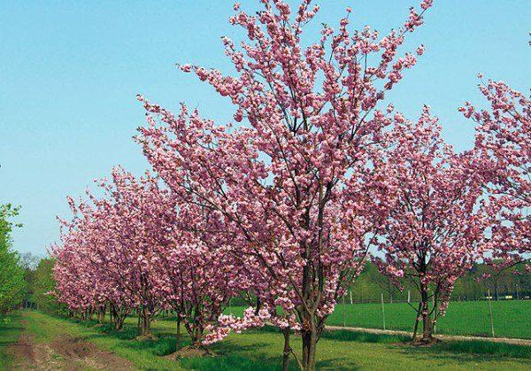 Что за дерево с черными ягодами. Описание черемухи сорт маака