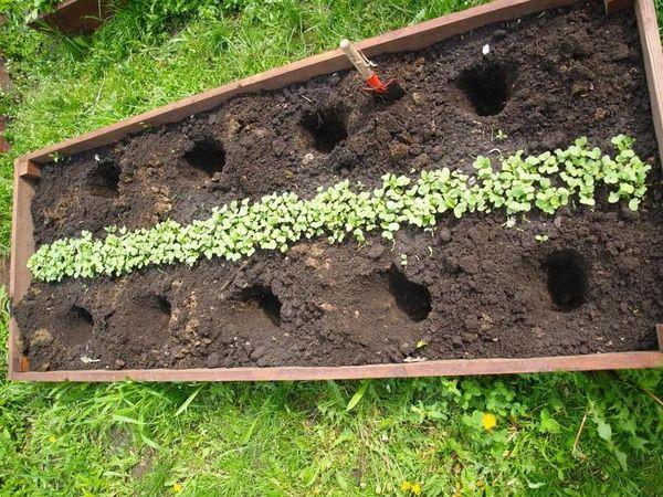 Секреты успешного выращивания баклажанов