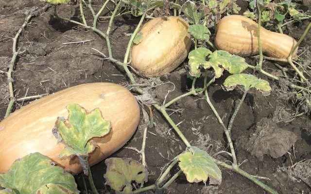 Тыква мускат де прованс технология выращивания. Мускатная тыква, описание сортов жемчужная и витаминная