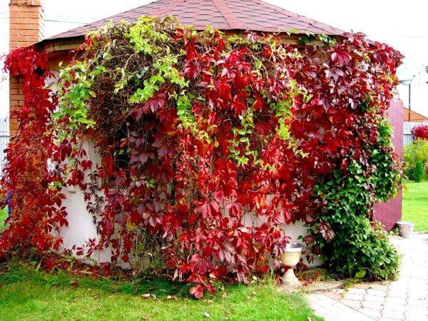 Когда сажать дикий виноград осенью или весной