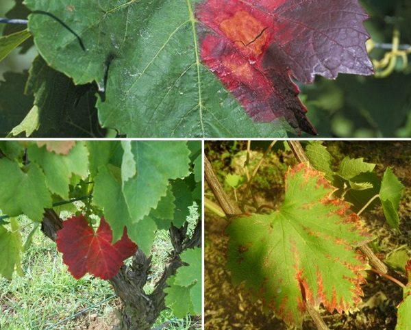 tratați articulația frunzelor de arțar