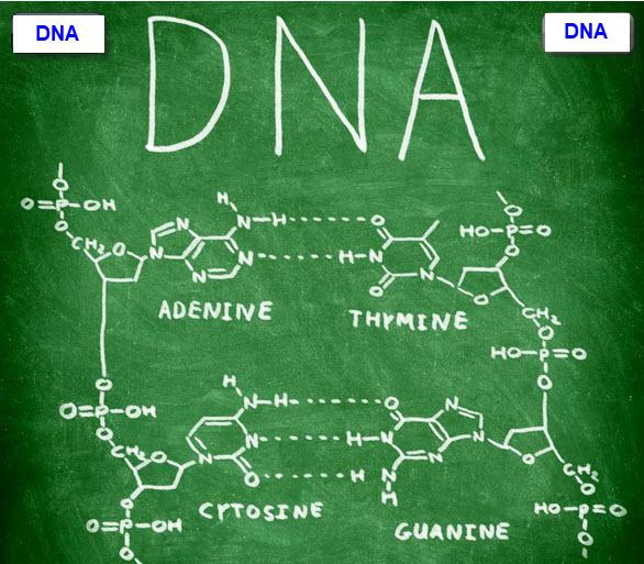 Apa Itu DNA (Deoksiribo Nukleat Acid)?
