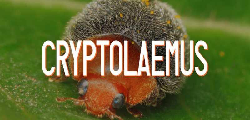 Cryptolaemus