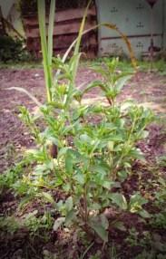 Stevia, Zitronengras