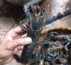 baby lobster lobster air tawar makanan laut yang sedap