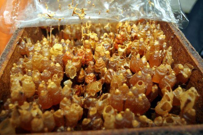 cara dapatkan madu kelulut asli