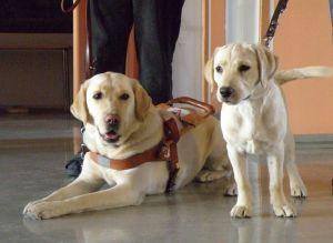 Dank verbesserter Förderung könnte es bald mehr Blindenhunde geben. (Quelle: smerikal via Visual hunt / CC BY-SA