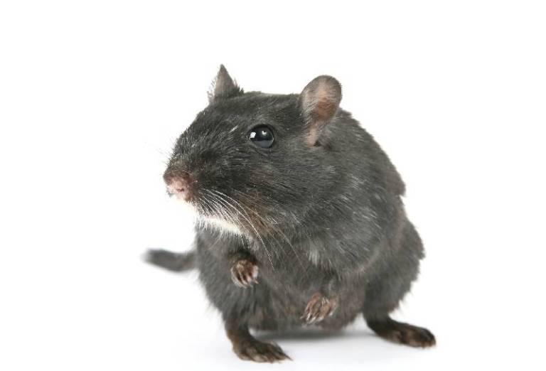 potkan-cierny
