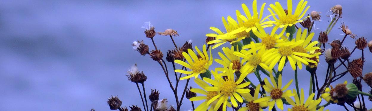 Weed or Wonder? Flower in bloom at Ardingly Reservoir, East Sussex, England, United Kingdom   ProfJoeCain