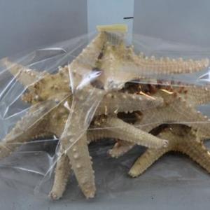 Estrela do mar com bicos Aprox. 20cm