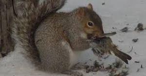 squirrel-eating-a-bird