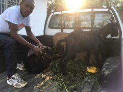 Uomo haitiano con delle capre