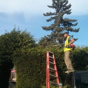 Hedge trimming