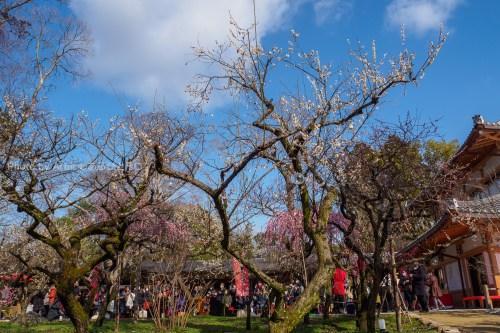 京都北野天満宮梅えんの御茶屋と梅とそら
