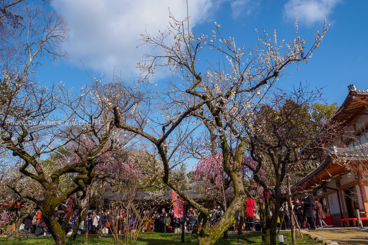 京都北野天満宮梅苑のお茶屋と梅と空