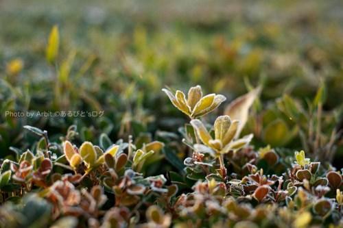 霜が降りた草むら