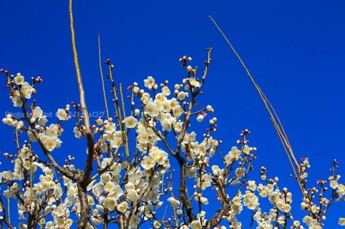綺麗な青空と白梅